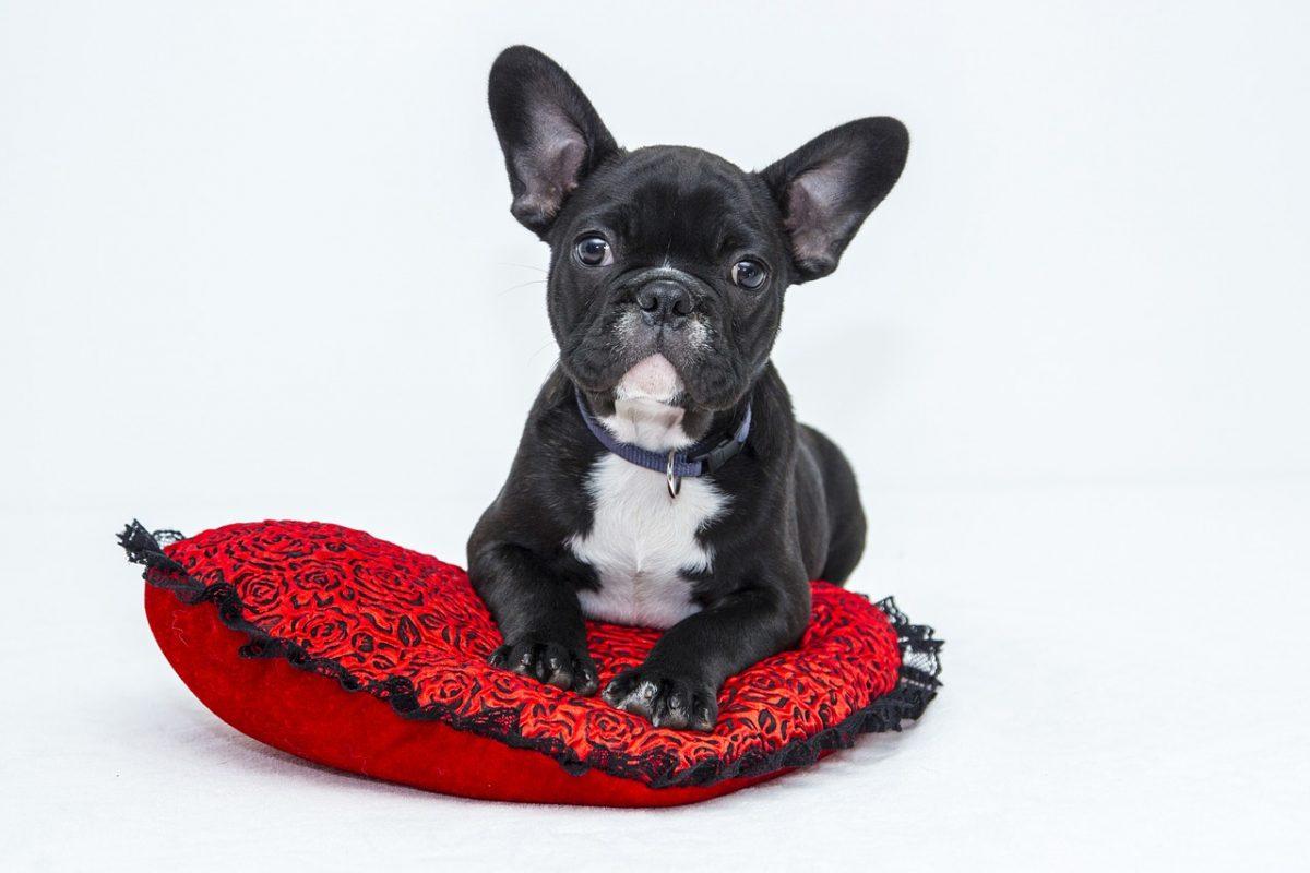 het Franse bulldog karakter