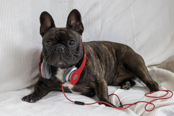Franse bulldog alleen thuis laten