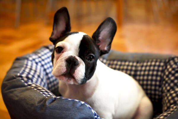 franse bulldog alleen thuis